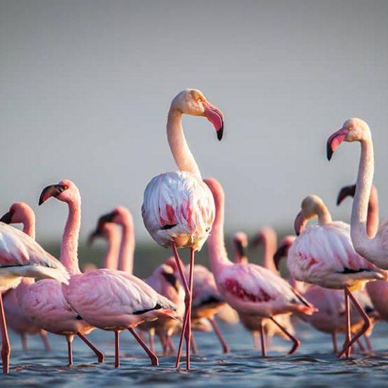 Flamingos Al Thakhira