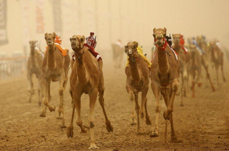 camel race on camel racing track